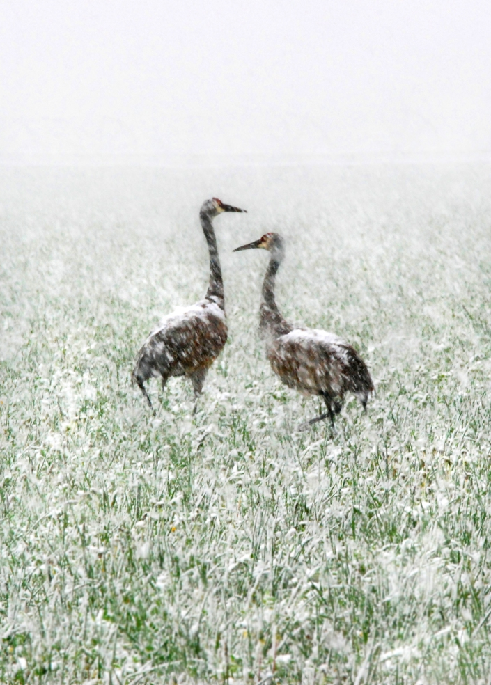 Spring Snow Cranes (small)
